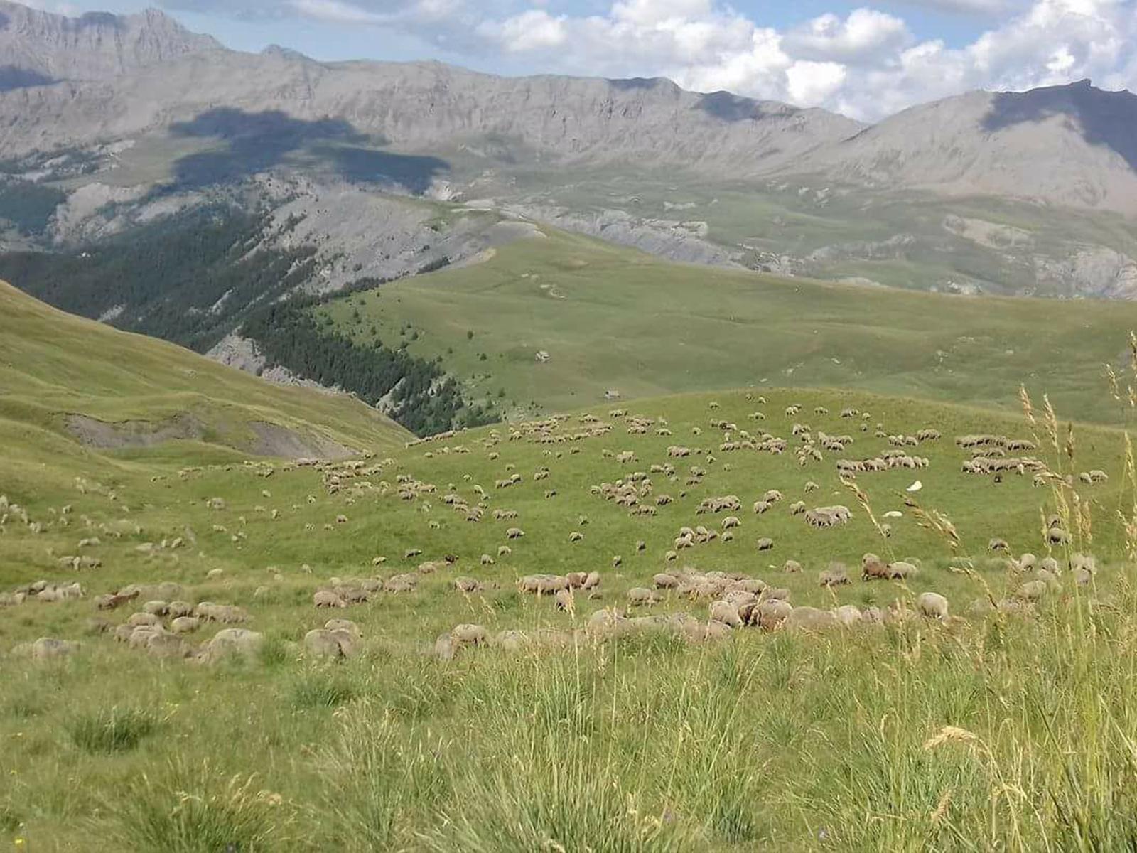 Troupeau de mouton Bonette